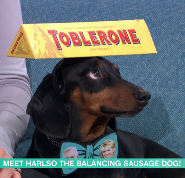Harlso the Dachshund