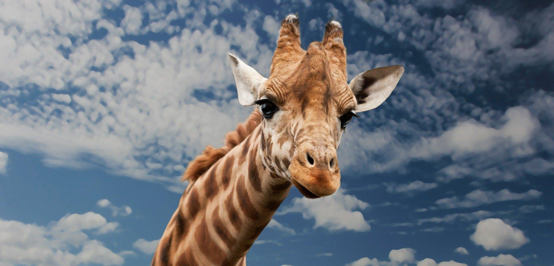 Shoppers call out major gaffe on Waitrose's Gerry The Giraffe cake
