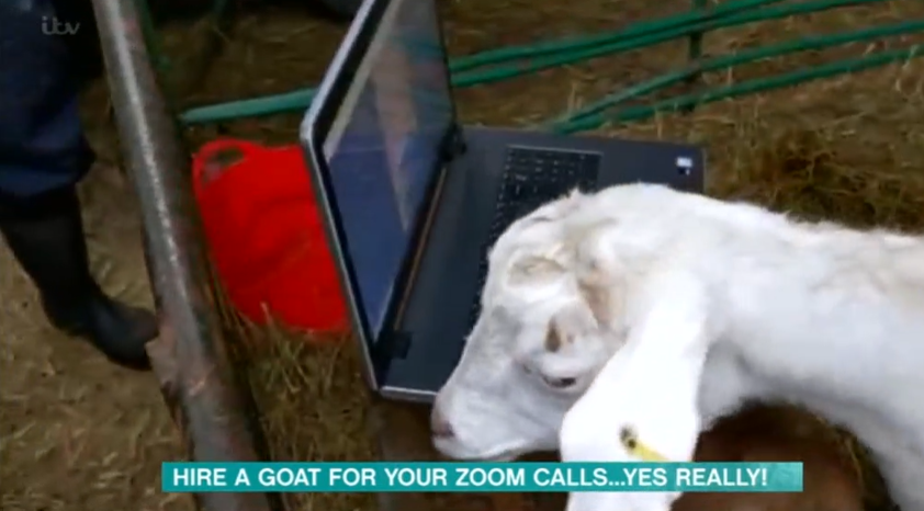 Goats on This Morning credit: ITV