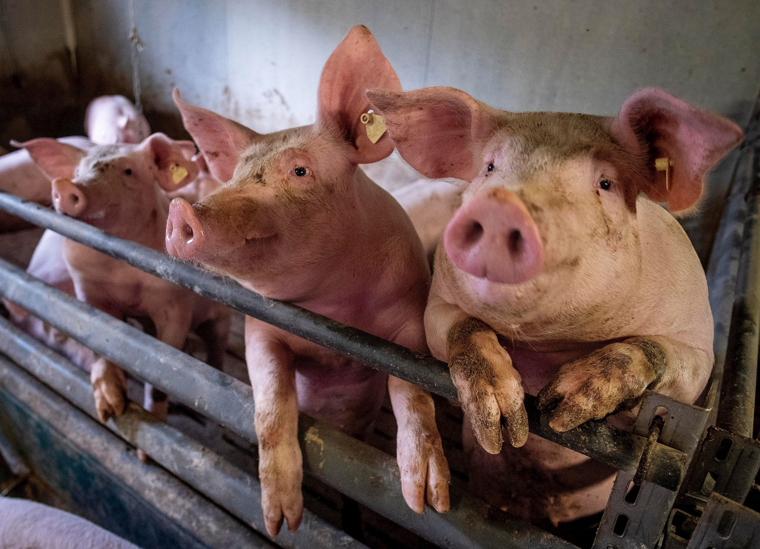 New swine flu with pandemic potential discovered by China researchers