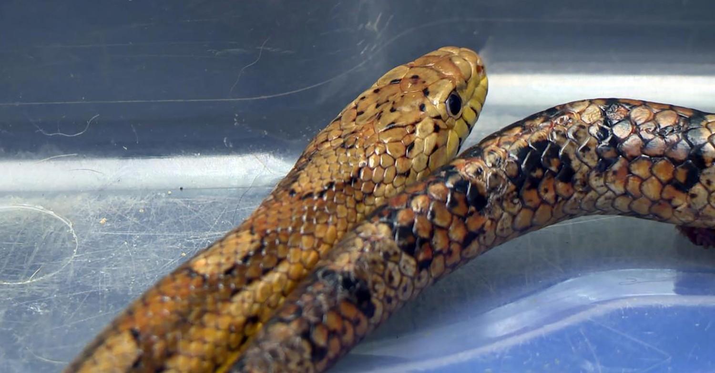 Yorkshire Vet snake
