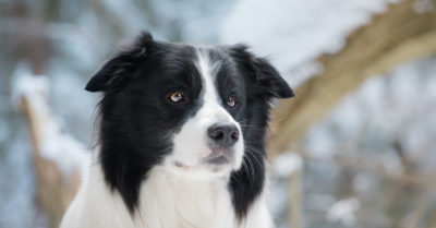 border collie dogs behaving very badly