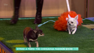 Two chihuahuas in fancy dress een on This Morning